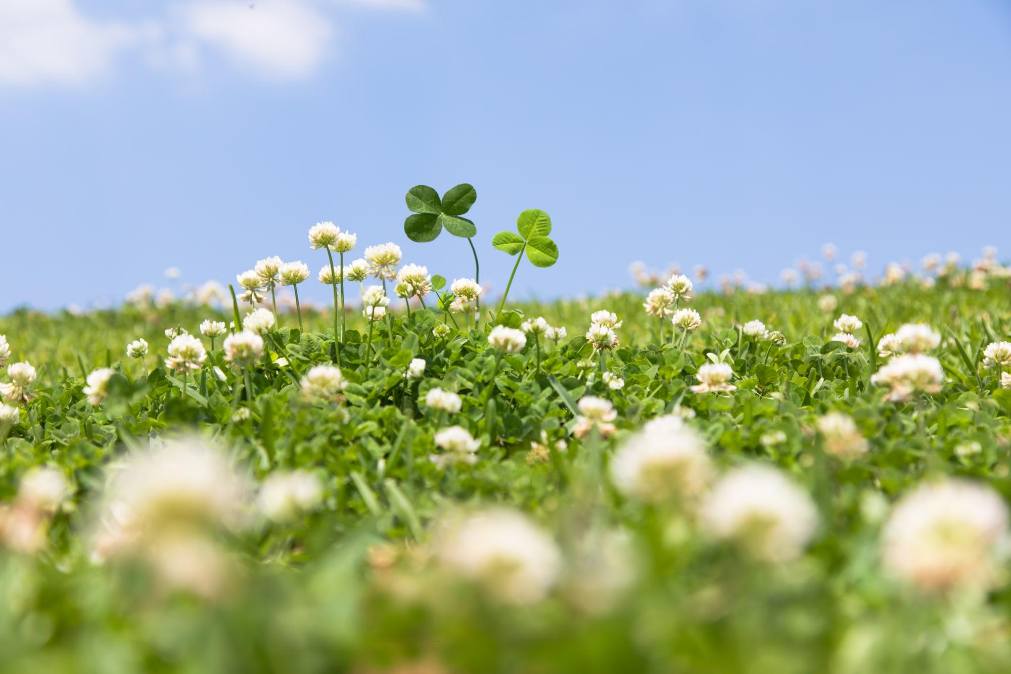 見た目や花言葉だけじゃない!クローバー・四つ葉の魅力と不思議 イメージ